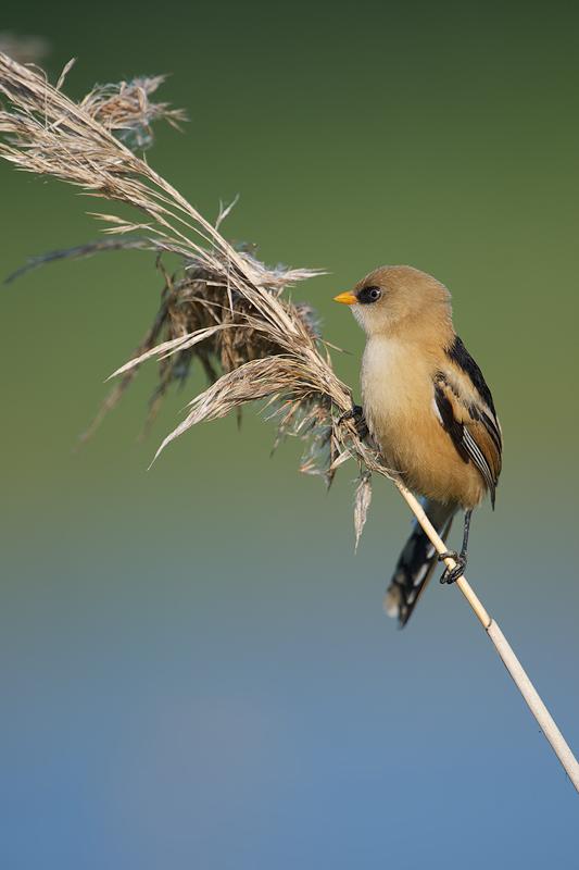 Juvenile Bearded Reedling (male) (Baardmannetje) hanging on a stem of reed.
