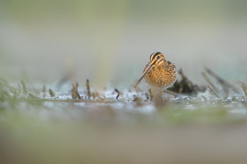 Curious Common Snipe