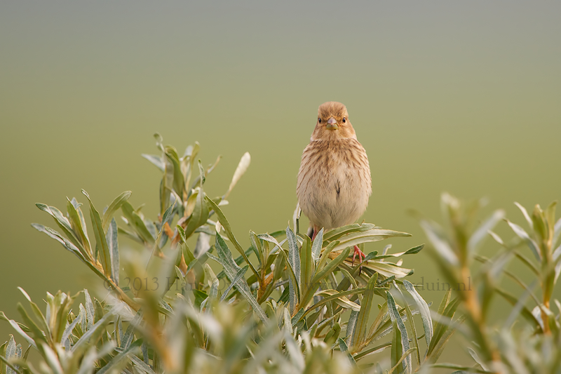 Juvenile Common Linnet on a thornbuck