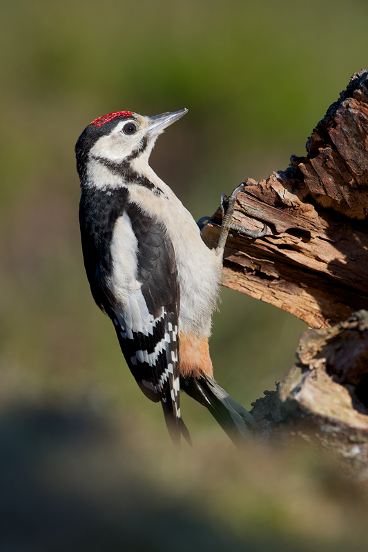 Curious juvenile Great Spotted Woodpecker checking his new world