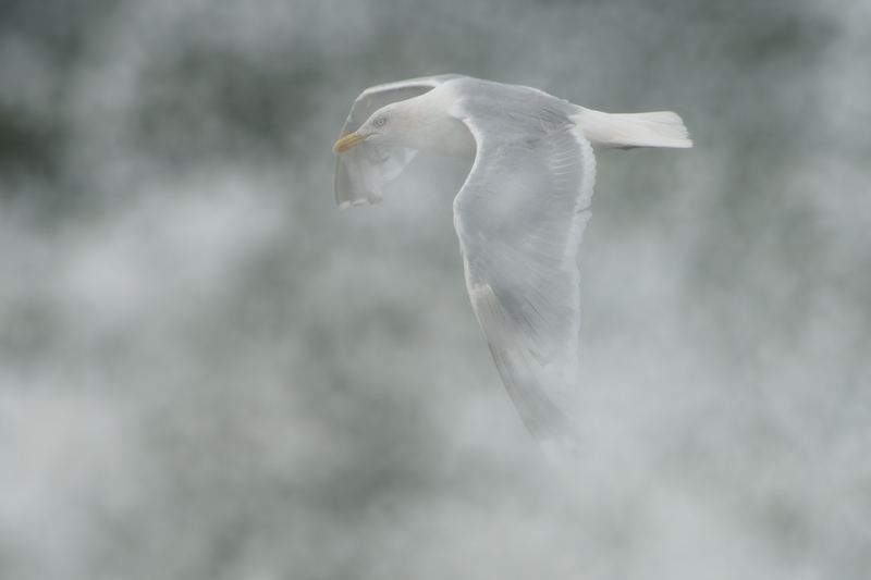A Herring Gull (Zilvermeeuw) gets sprayed by high waves