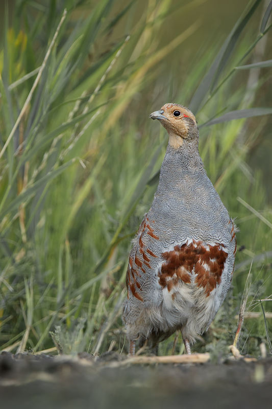 A Parent Partridge overlooking the area while keeping an eye on the chicks