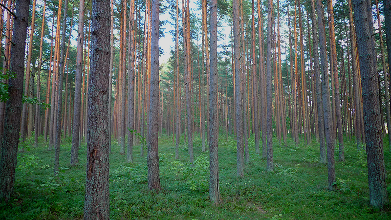 Typical forest in the Baltics