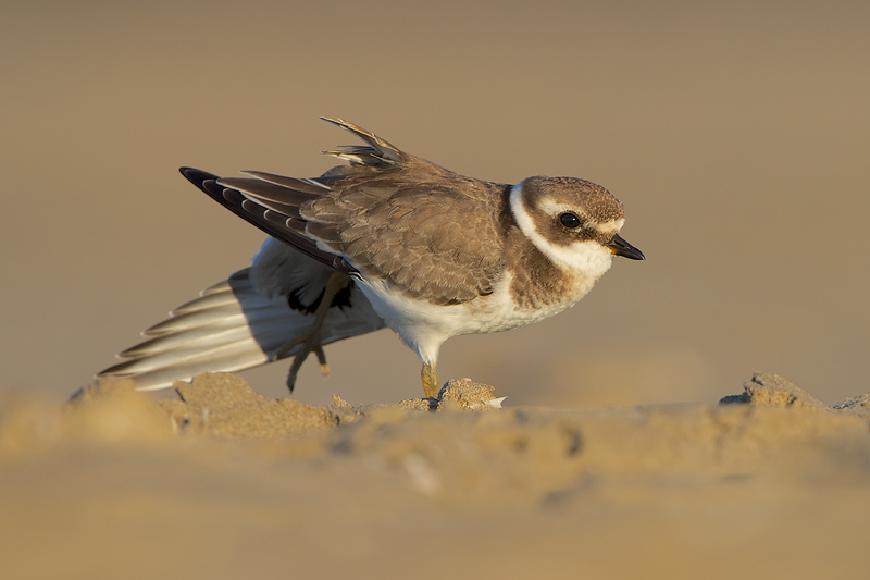Common Ringed Plover (Bontbekplevier) doing some stretching in the early morning