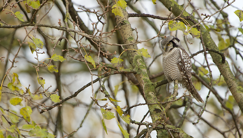 Sperweruil | Northern Hawk-Owl