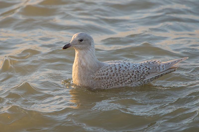 Iceland Gull | Kleine Burgemeester @ Scheveningen