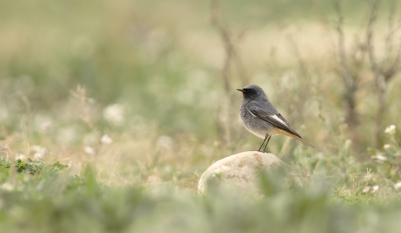 Black Redstart (Zwarte Roodstaart) make overlooking it's territory