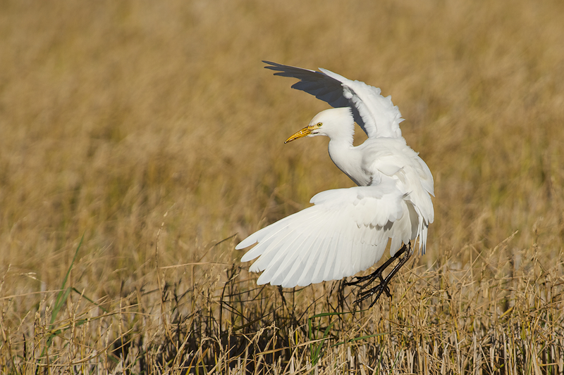 Cattle Egret (Koereiger) landing