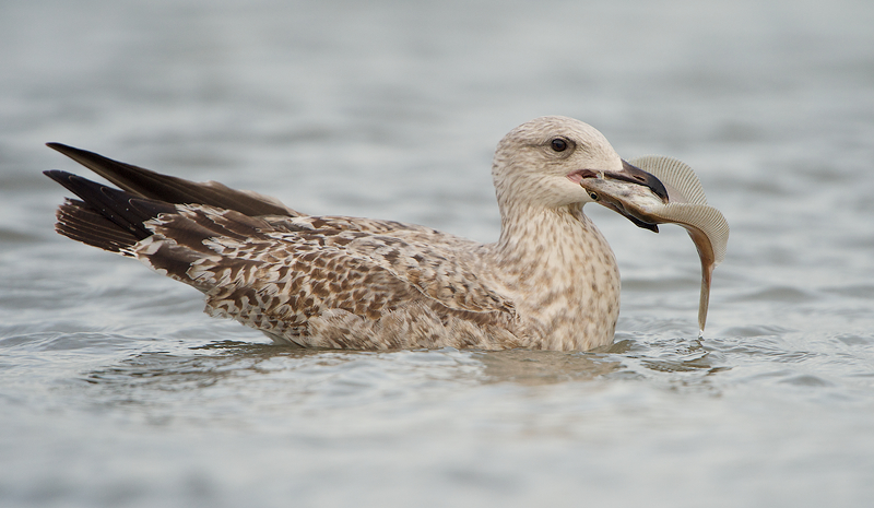 Herring Gull (Zilvermeeuw) with fresh-caught fish (dab/schar)