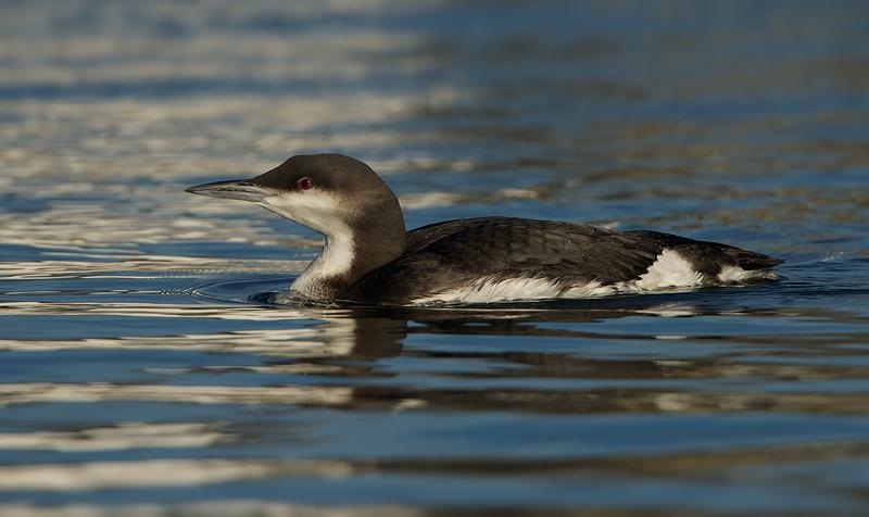 Black-throated Loon | Parelduiker (Stellendam)