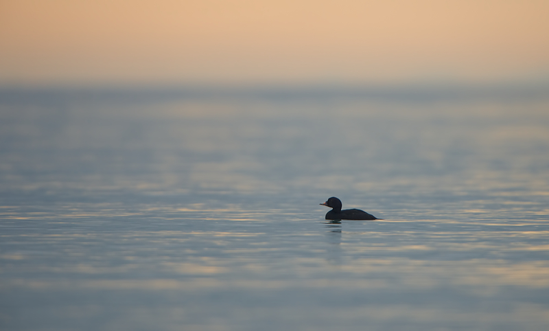 Black Scoter | Zwarte Zee-eend at dawn on the North Sea