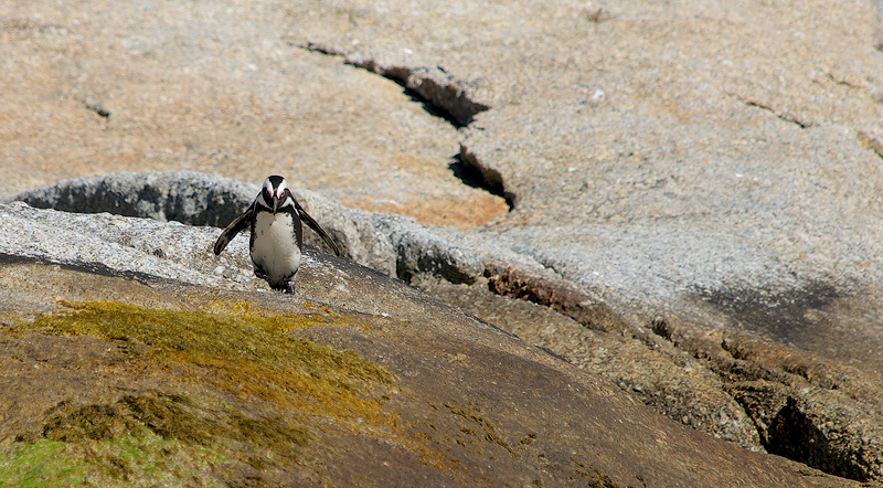 African Penguin having a hot day and a long climb ahead...