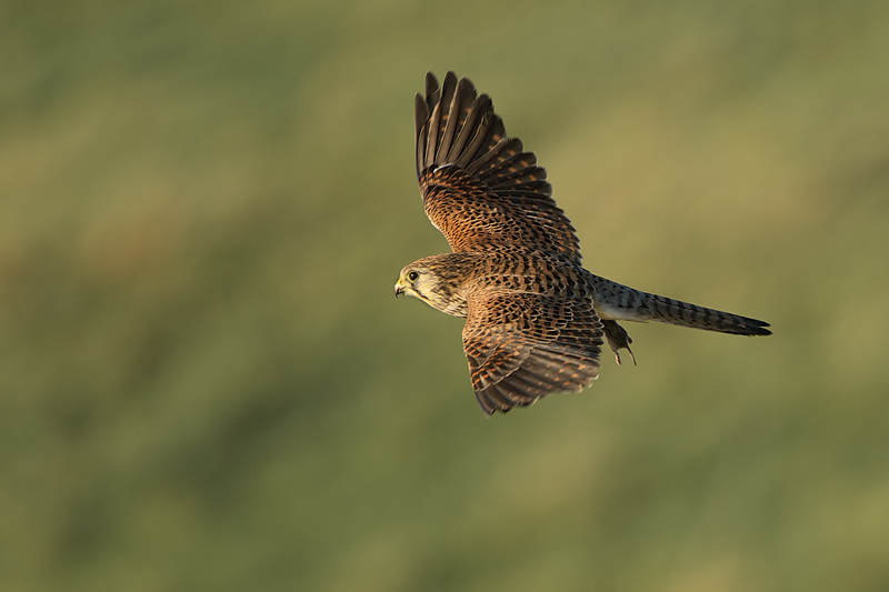 Female Kestrel flies of with a mouse