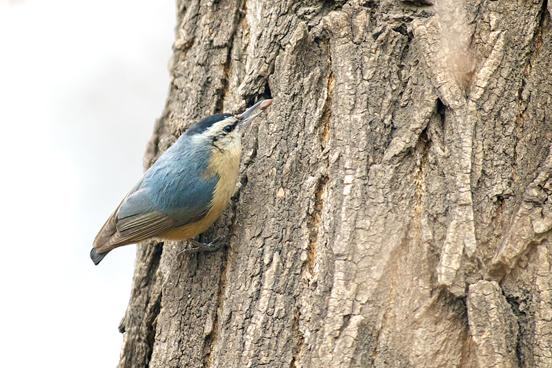Chinese Nuthatch | Chinese Boomklever