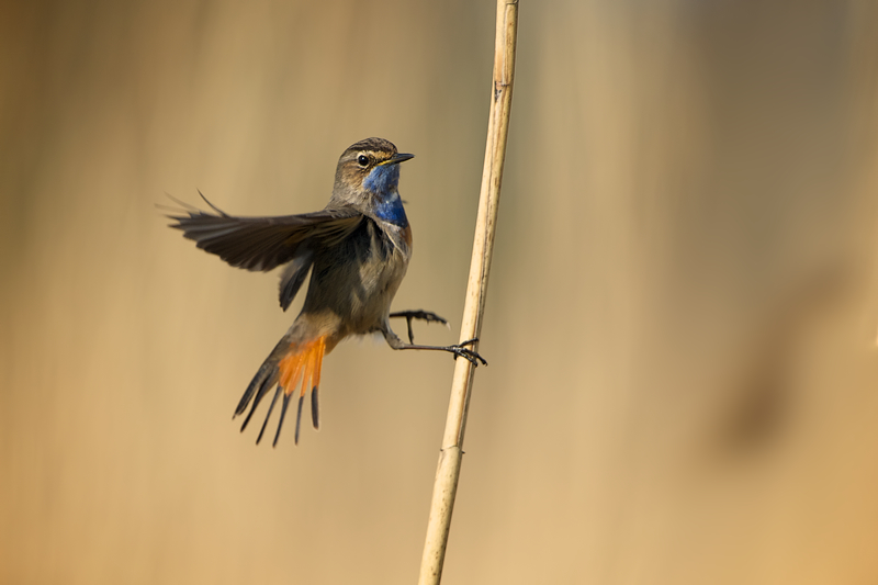 Bluethroat male fighting with reed stem