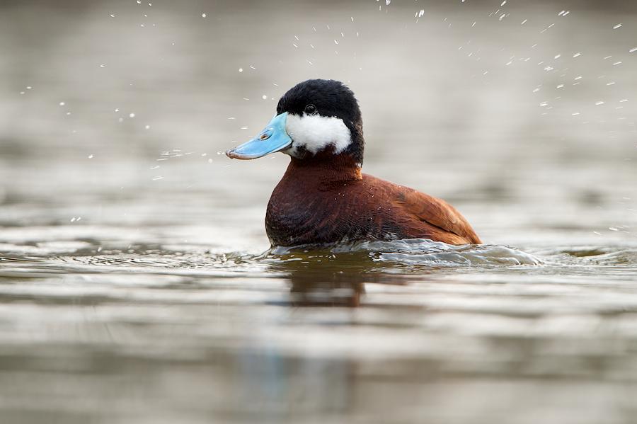 Ruddy Duck splashing around