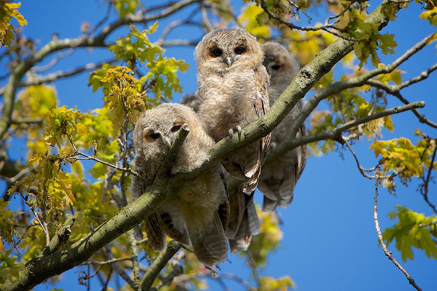 Tawny Owls (Bosuil)
