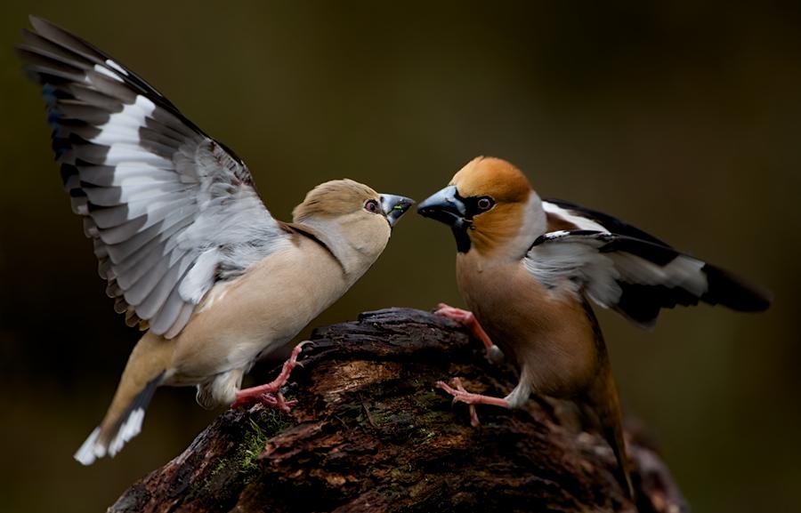 Hawfinches | Appelvinken