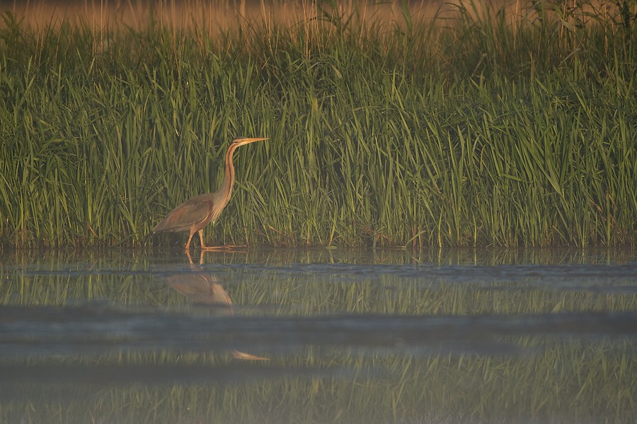 Purple Heron walking along the reed beds