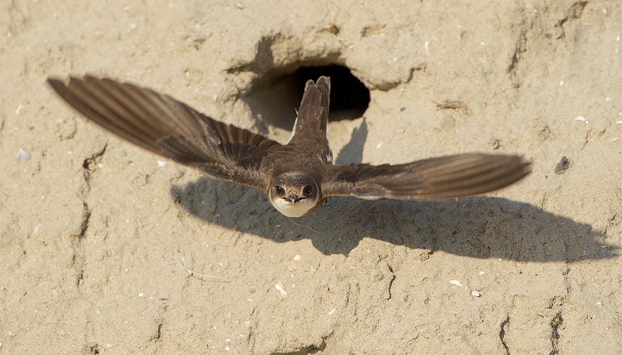 Sand Martin leaving a nesting hole