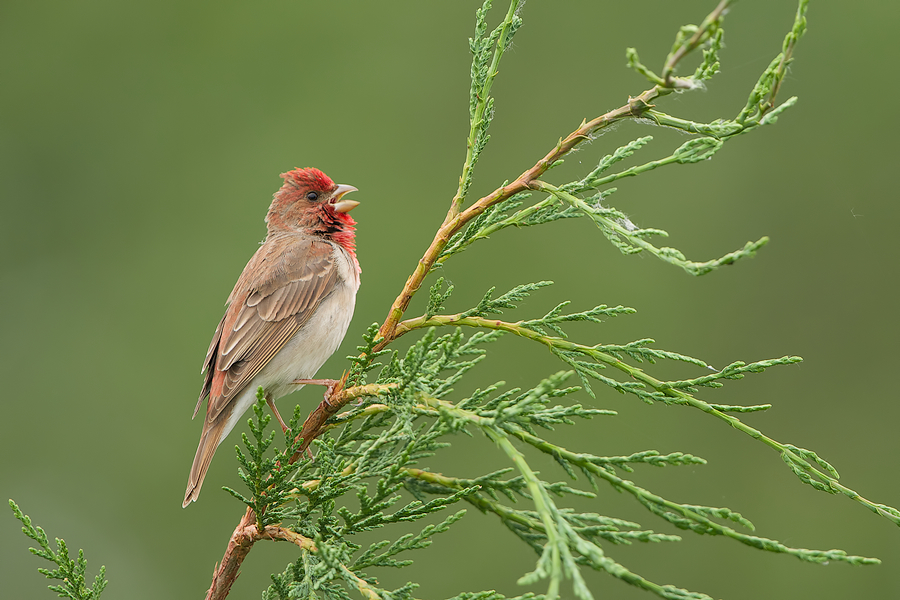 Common Rosefinch (male) singing