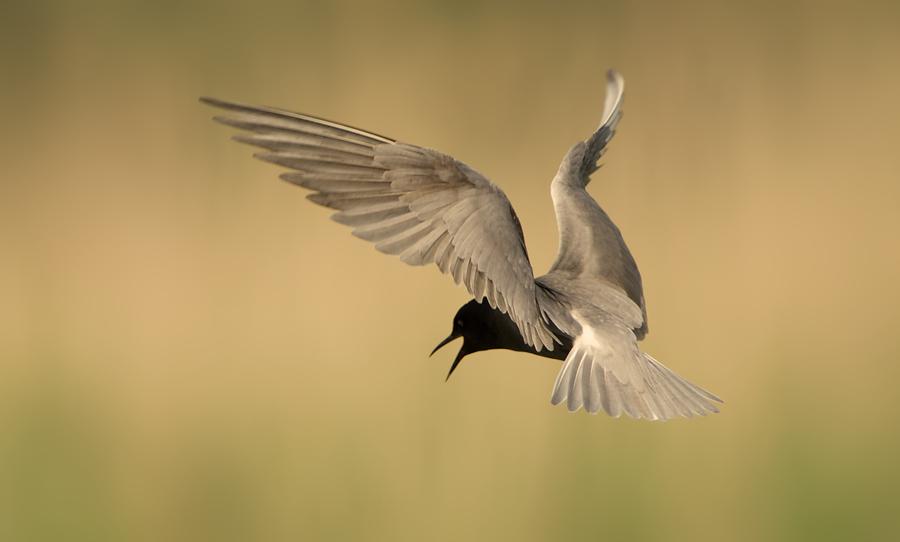 Black Tern | Zwarte Stern