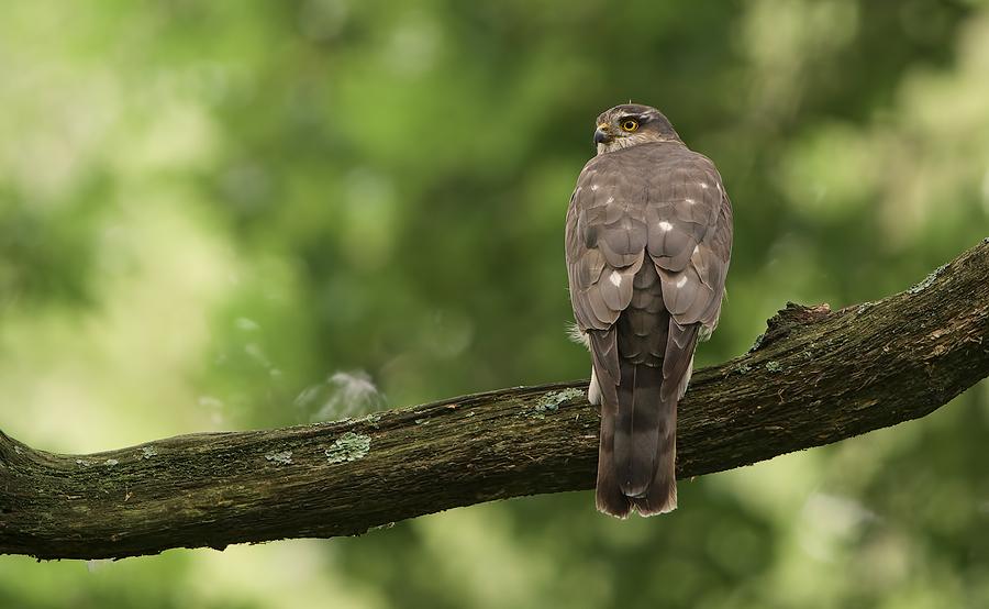 Sparrowhawk female | Sperwer