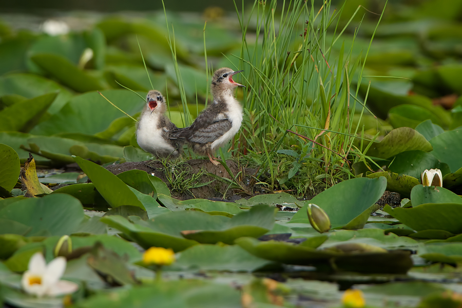 Black Tern chicks shouting for attention