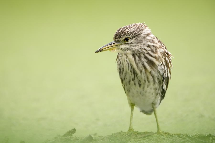 Black-crowned Night-heron jug, The Netherlands 2014