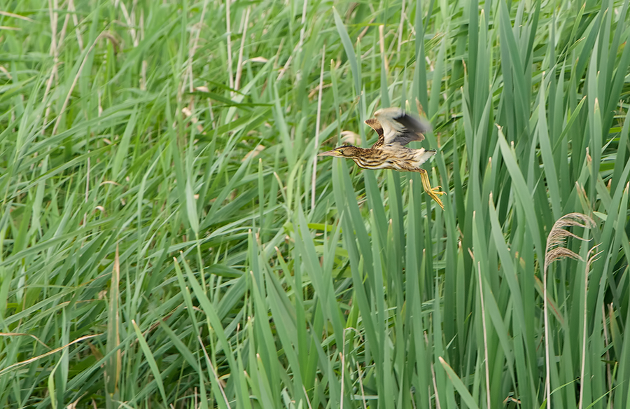 Little Bittern juv. in flght