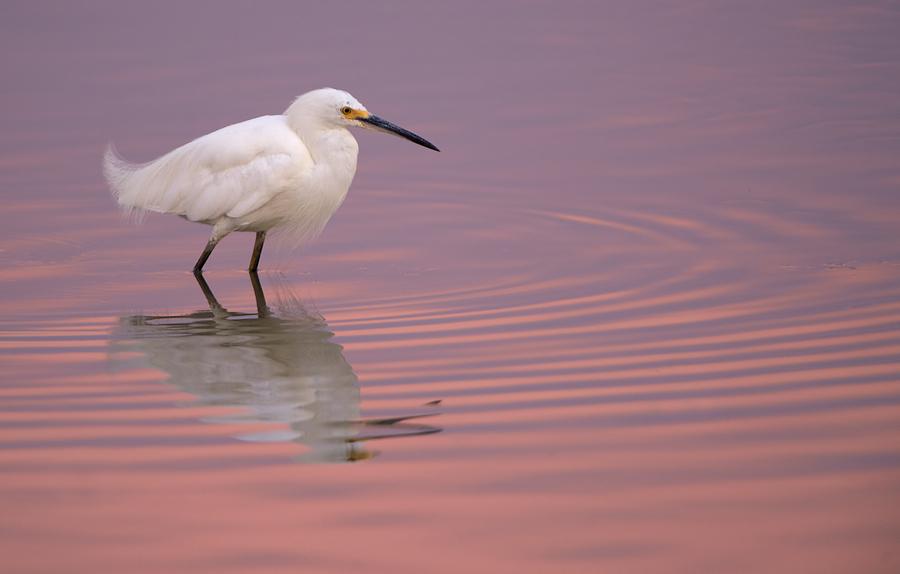Snowy-Egret.jpg