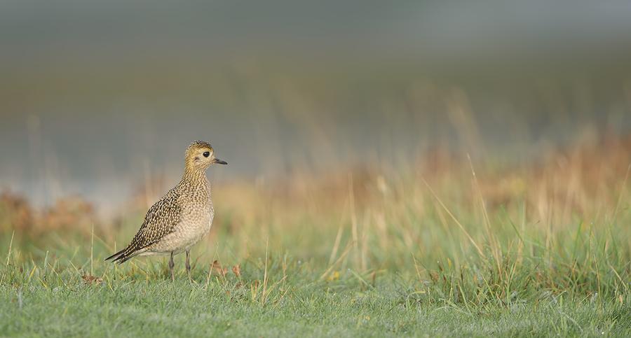 European Golden Plover | Goudplevier