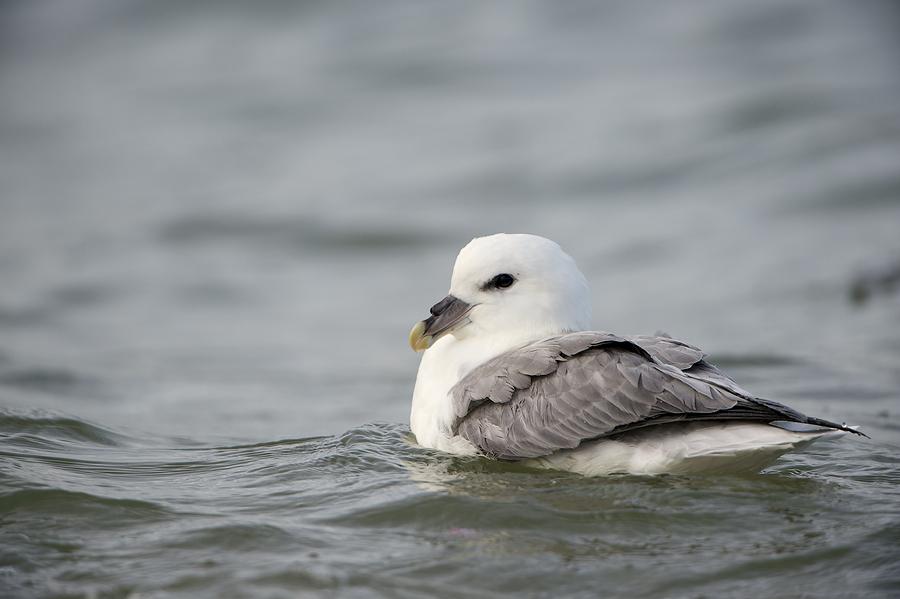 Northern Fulmar | Noordse Stormvogel
