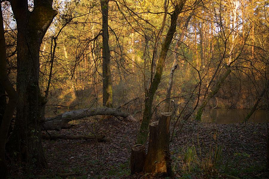 Black Woodpecker in the Woods....
