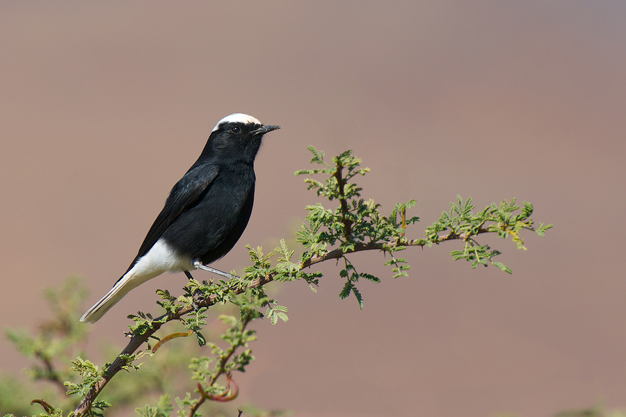 White-crowned Wheatear | Witkruintapuit - Morocco, dec 19th, 2011