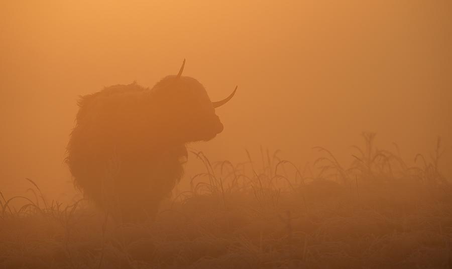 Highland Cow | Schotse Hooglander