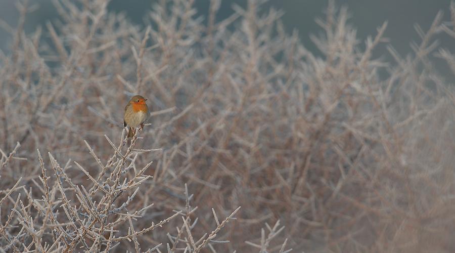 European Robin | Roodborst