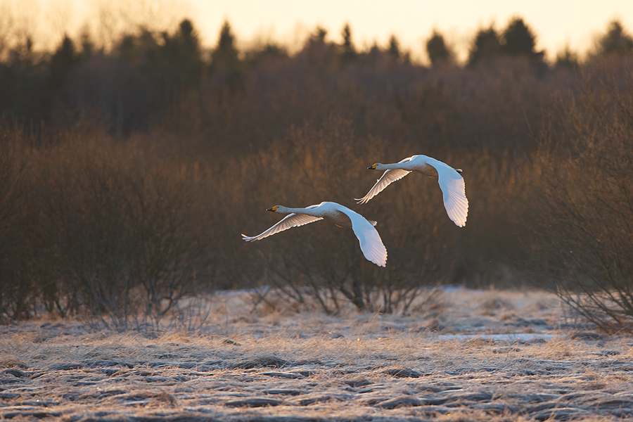 Whooper Swans landing in Sweden