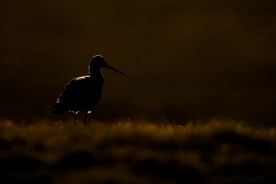 Black-tailed Godwit   Grutto