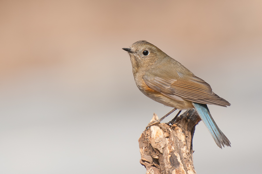 Red-Flanked Bluetail (Blauwstaart) - made in China
