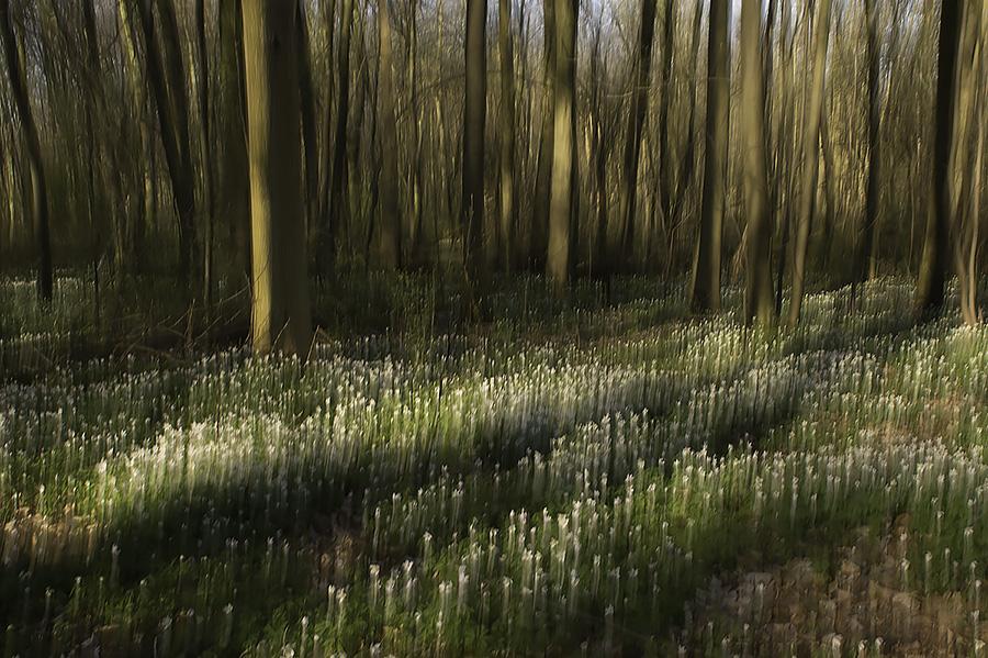 Bosanemoon | Wood Anemone