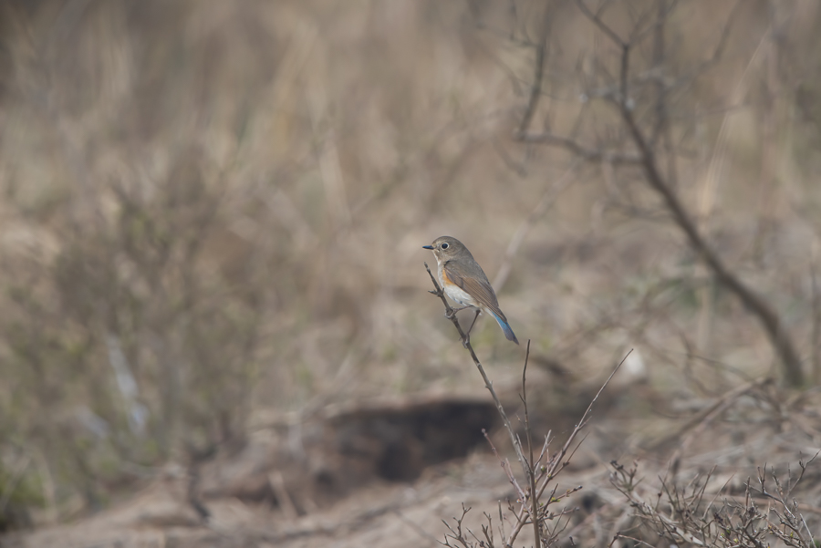 Red-Flanked Bluetail (Blauwstaart) - made in Holland