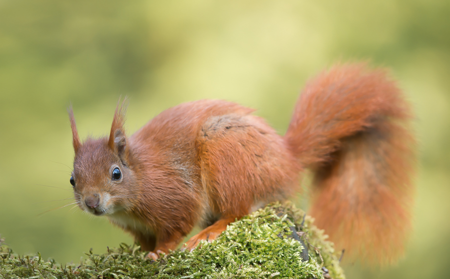 Red Squirrel | Eekhoorn