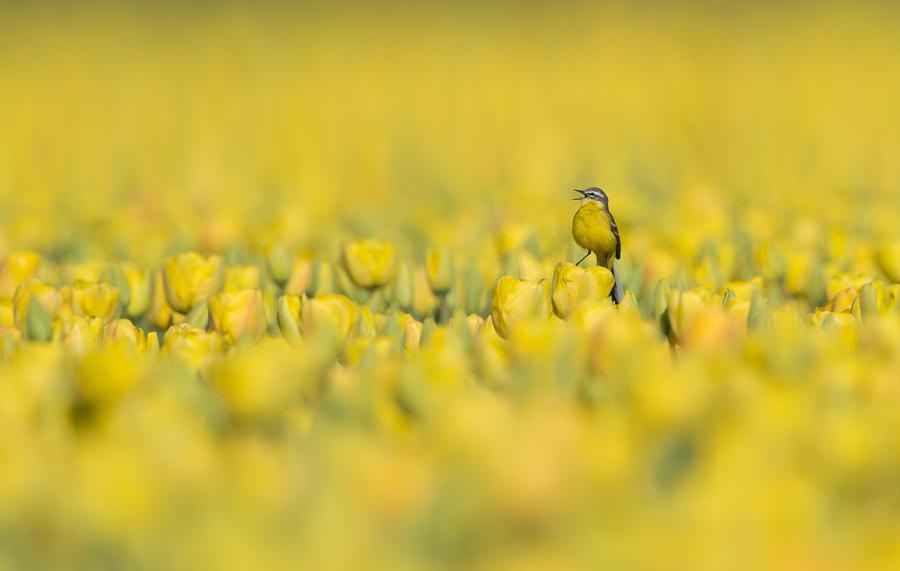 Blue-Heads Wagtail | Gele Kwikstaart