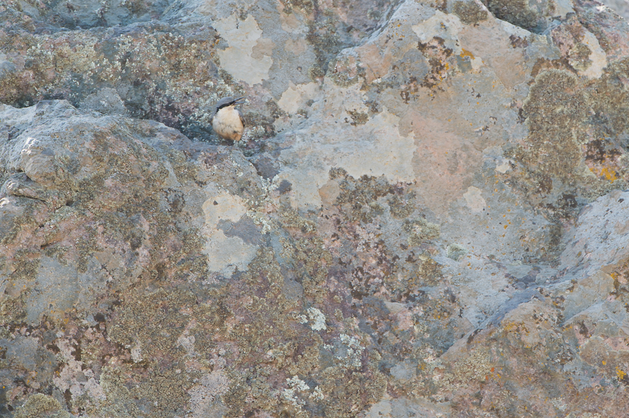 Rock Nuthatch | Rotsklever