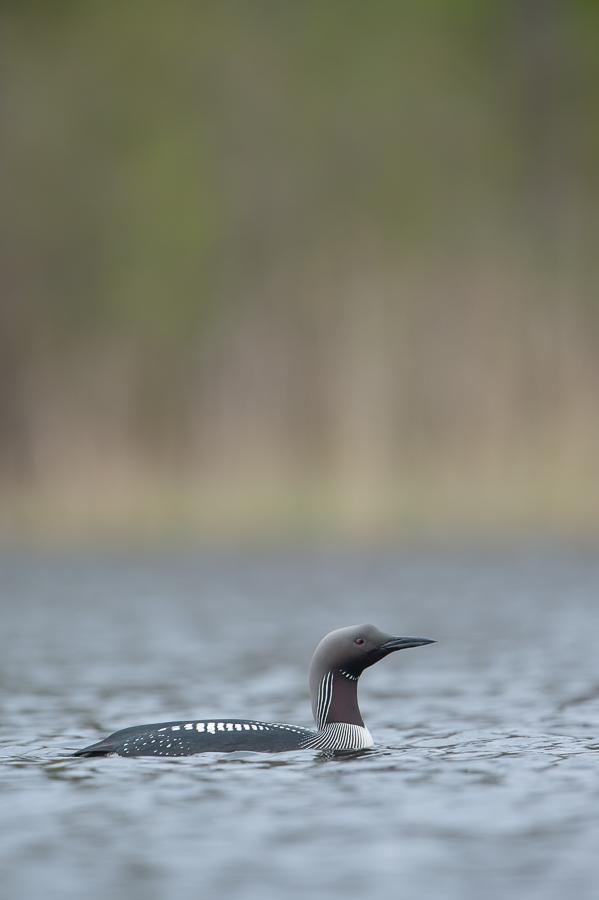 Black-throated Loon | Parelduiker