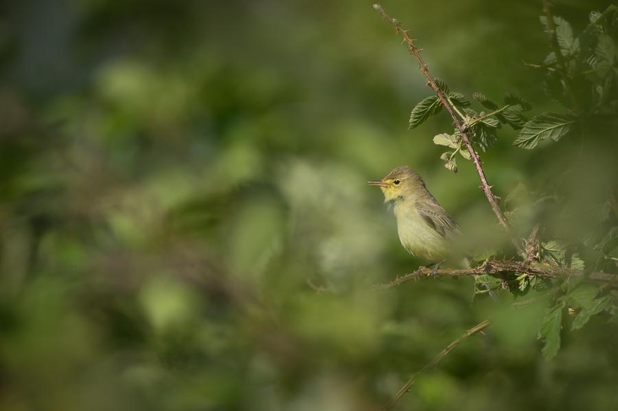 Icterine Warbler | Spotvogel (The Netherlands 2015)