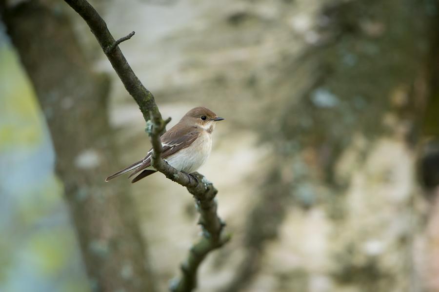 Pied Flycatcher female | Bonte Vliegenvanger