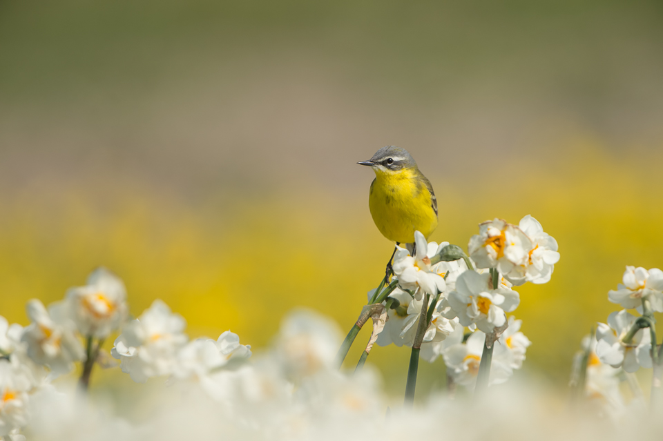 Blue-headed Wagtail (Motacilla flava) sitting on white narcissus