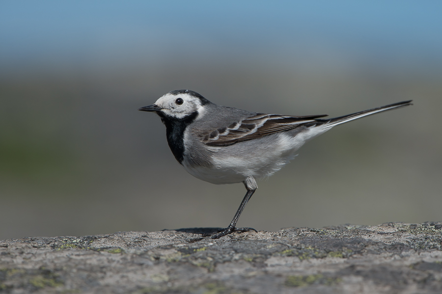 White Wagtail | Witte Kwikstaart